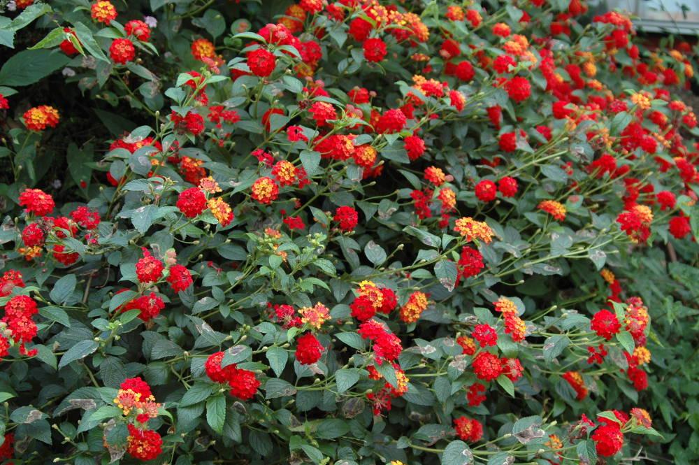 Red-and-yellow-lantana-flowers
