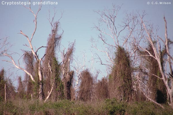 cryptostegia-grandiflora3